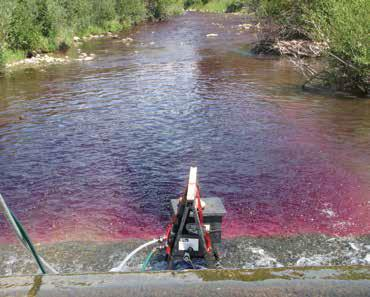 Cherry Creek was poisoned in segments. At the end of each segment, the piscicides were detoxified with potassium permanganate, which turns the water purple. Photo courtesy Carter Kruse, Big Sky Journal.